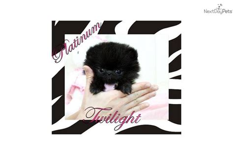 pomeranian puppies jackson ms pomeranian for sale for 4 000 near jackson mississippi b0741a23 70a1