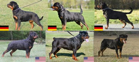 rottweiler american vs german the rottweiler a patient family and gentle just don t try anything