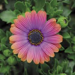 what color are daisies daisies are a must grow official of park seed
