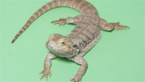 bearded lizard   pets animals