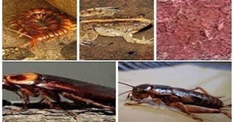 Pakan Ikan Hias Biar Cepat Besar makanan ikan arwana anakan biar cepat besar dan merah