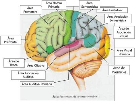 imagenes visuales para el cerebro sistema nervioso central y sus funciones