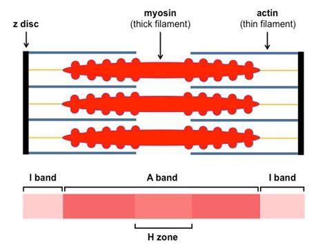 labeled sarcomere diagram sarcomeres bioninja