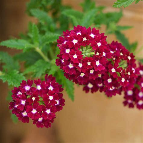 imagenes de flores verbenas caracter 237 sticas y cultivo de la verbena
