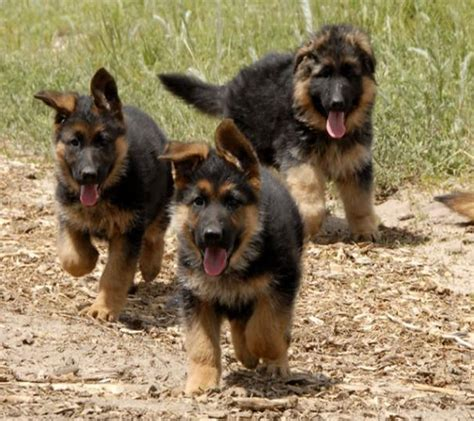 adorable german shepherd puppy german shepherd puppies german shepherd puppies