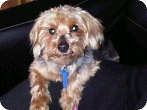 miniature poodle yorkie mix nickoli stauffer adopted lancaster pa yorkie terrier poodle