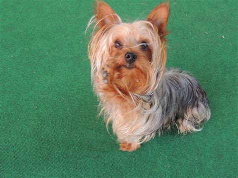 yorkie paws my yorkie buttercup quot giving me his paw quot my mae and friends