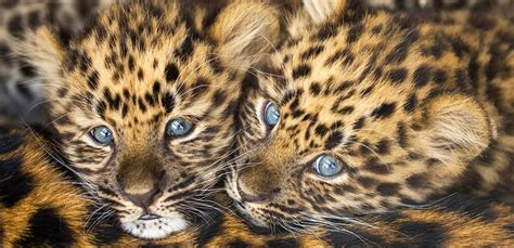 discount vouchers yorkshire wildlife park 2015 meet the most priceless cubs in the world at award winning