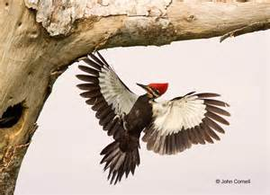 Pileated woodpecker flying cornell nature photography