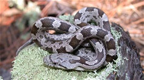 grey diamond pattern snake reptile amphibian landfall
