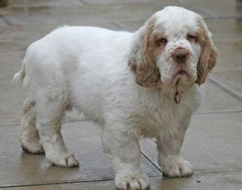 clumber spaniel puppies pin clumber spaniel breeders on