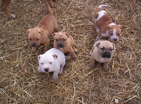 baby pitbull puppies pitbull terrier wallpaper baby pitbulls