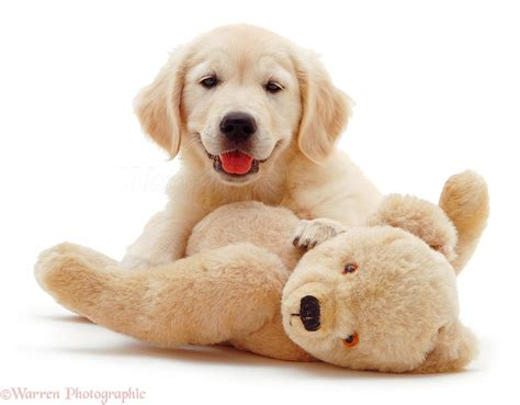 golden retriever teddy golden retriever pup and teddy photo wp03569