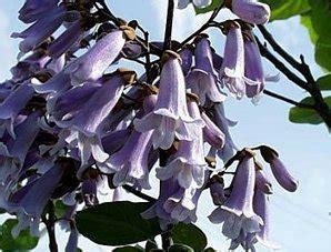 Chinesischer Blauglockenbaum Kaufen by Pflanzen Und Andere Gartenausstattung Tropical Garden