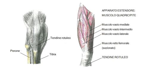 dolore al ginocchio parte laterale interna la tendinite rotulea patologieortopediche dott