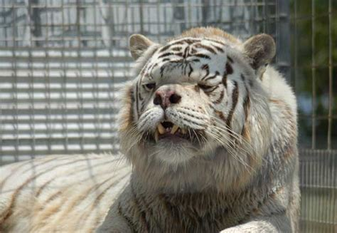 This is Kenny   .the Down Syndrome Tiger : pics