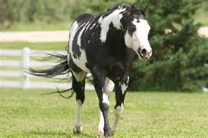 Black Mustang Horses For Sale Apha