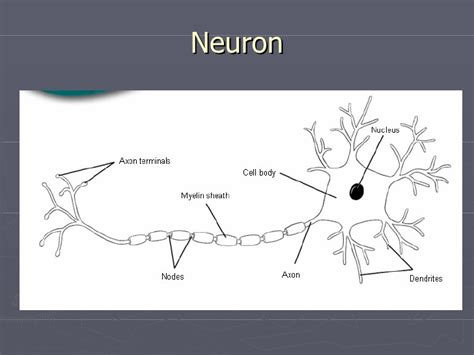 section 49 1 review neurons and nerve impulses biology final review