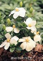 Gardenia Kleim S Hardy Pruning Deanna Landscape And Garden Design Garden Design