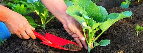 How To Fertilize Vegetable Plants Fertilizing Vegetable Garden