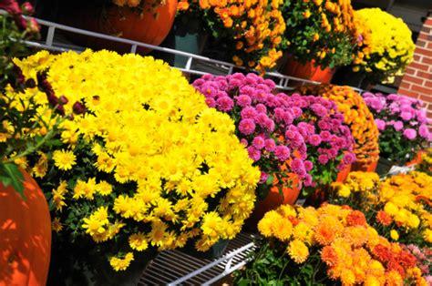 fiori invernali foto fiori invernali non possono mancare in balcone foto