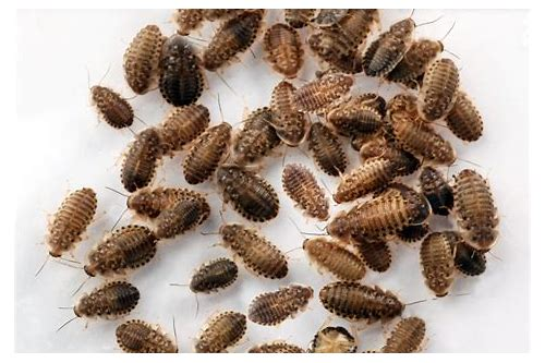dubia roach coupon code