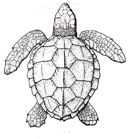 coloring pages for adults turtles sea turtle anatomy coloring page natuee