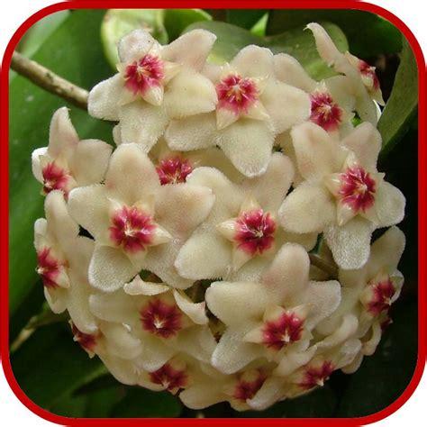 fiori profumati perenni hoya fiore di cera consigli manutenzione e cura