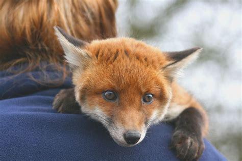 Pet Fox Food   Fox Diet   What Do Foxes Eat?