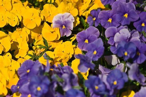 fiori pensiero viola pensiero piante annuali