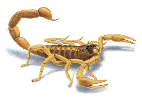 scorpion images pictures of scorpions