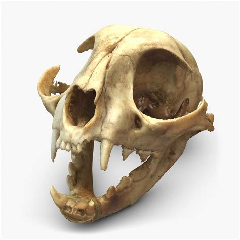 cat skull google search cat skull animal skulls