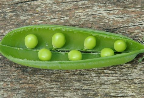 in pods peas in a pod at garden posts peas picked and eaten out of pods