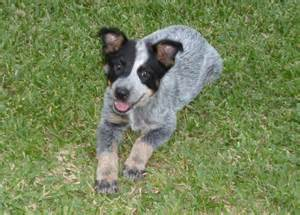 heeler puppies for sale blue heeler puppies for sale louisiana sportsman classifieds la