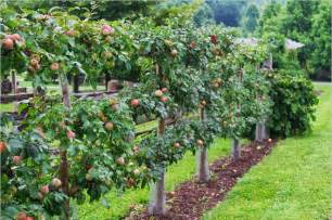 gravenstein apple espalier gardening