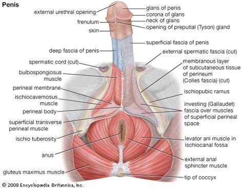 diagram of perineum perineum anatomy