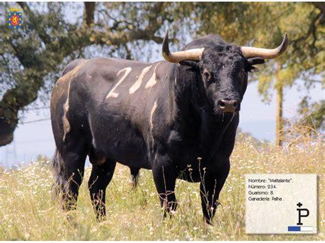 toro de coria coria present 243 sus toros para san juan 2013 ttn
