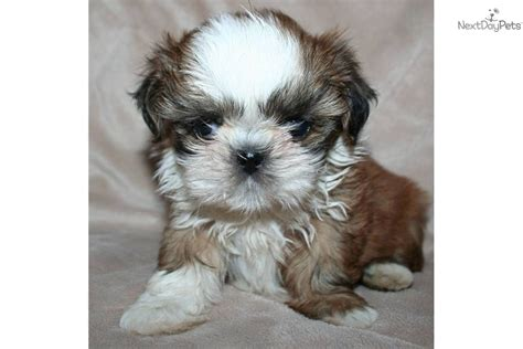 teacup shih tzu puppies for sale in nj shih tzu puppies available teacup shih tzu puppies available in cadog shih tzu