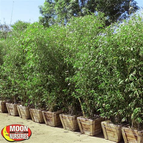 Moon Nursery Chandler Az by Timber Bamboo Hedge Tree Moon Valley Nurseries