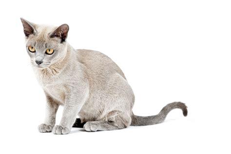 breed information burmese cat breed information