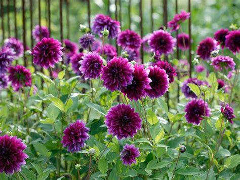 flowering shrubs with purple flowers choosing purple flowers and plants for the garden hgtv