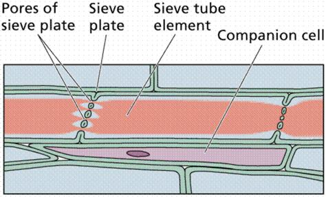 Longitudinal Section Of Xylem Tissue by Plant Structure