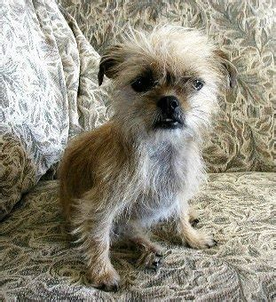 shih tzu mixes list shih tzu chihuahua mix a k a shichi breed info 21 pictures animalso