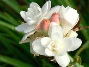 Tuberose flowers youtube