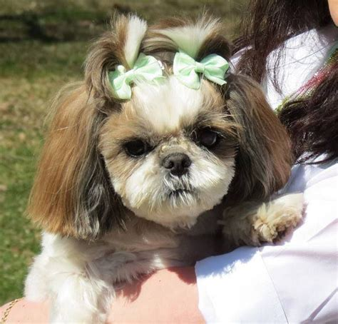 common shih tzu diseases shih tzu liver disease diet downloadsposts