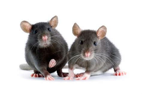 house rat rats vs mice differences questions and answers