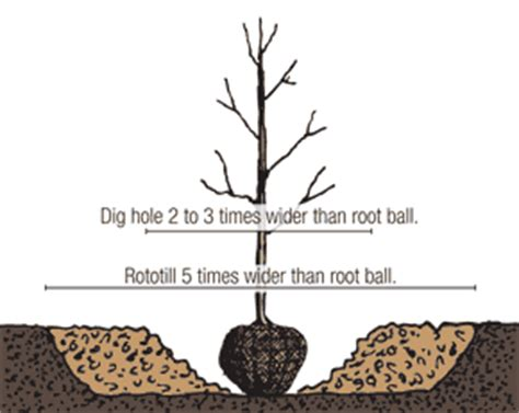 root balled trees how to plant balled and burlapped trees