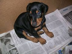 doberman puppies for sale in chicago dobermans awwww on doberman pinscher puppy doberman pinscher and doberman