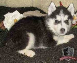 husky puppies for sale tx females teacup pomeranian puppies dallas breeds picture
