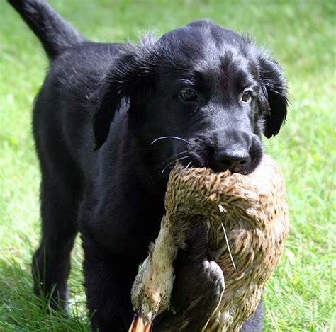 the flat coated retriever mrs puppies pictures and information
